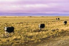 Mucche dell'azienda agricola nella Patagonia Immagini Stock Libere da Diritti
