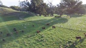 Mucche dell'azienda lattiera in Nuova Zelanda, vista aerea al tramonto 4k video d archivio