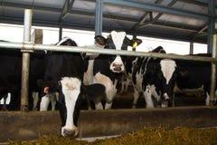 Mucche dell'Holstein Fotografie Stock Libere da Diritti