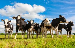 Mucche dell'Holstein nel pascolo fotografie stock