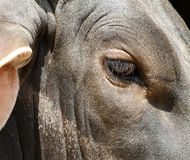 Mucche dell'occhio Immagini Stock