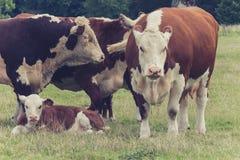 Mucche della famiglia nel campo Immagini Stock