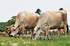 Mucche della Jersey Fotografie Stock