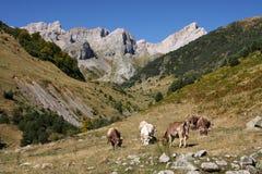 Mucche della montagna Fotografia Stock