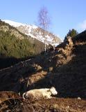 Mucche della montagna Fotografie Stock