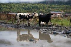 Mucche della montagna con baleno nello stagno fotografia stock libera da diritti
