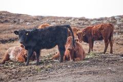 Mucche della montagna nelle montagne sull'isola di Lewis e di Harris La Scozia di nord-ovest Immagine Stock