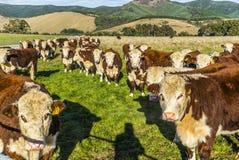 Mucche della Nuova Zelanda sull'azienda agricola Immagini Stock Libere da Diritti