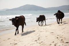 Mucche della spiaggia Immagine Stock Libera da Diritti
