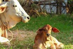 Mucche della Tailandia Fotografia Stock