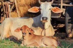 Mucche della Tailandia Fotografia Stock Libera da Diritti