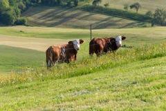 mucche delle coppie nel paesaggio del prato Fotografia Stock