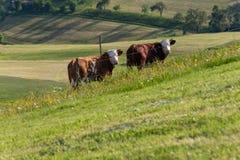 mucche delle coppie nel paesaggio del prato Fotografie Stock