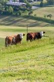 mucche delle coppie nel paesaggio del prato Immagine Stock Libera da Diritti