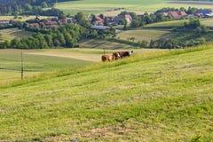 mucche delle coppie nel paesaggio del prato Fotografia Stock Libera da Diritti