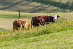 mucche delle coppie nel paesaggio del prato Immagine Stock