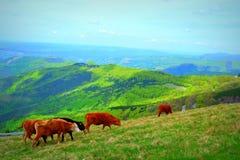 Mucche delle montagne Immagini Stock Libere da Diritti