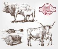 Mucche di allevamento Immagini Stock