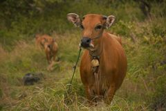 Mucche di Bali Immagine Stock