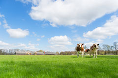 Mucche di bianco di Brown Fotografie Stock