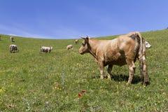 Mucche di Brown Fotografia Stock Libera da Diritti