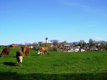 Mucche di Brown fuori ad erba davanti al villaggio bavarese immagine stock