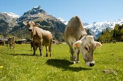 Mucche di Brown nel prato alpino Immagini Stock