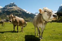 Mucche di Brown nel prato alpino Immagini Stock Libere da Diritti