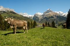 Mucche di Brown nel prato alpino Fotografie Stock Libere da Diritti
