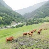 Mucche di Brown nel prato della montagna vicino ai vars in alpi di Alta Provenza immagini stock libere da diritti