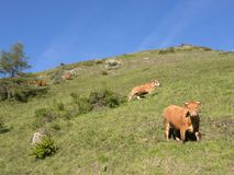 Mucche di Brown nel prato erboso verde della montagna vicino a guillestre in alpi francesi di Alta Provenza Immagine Stock