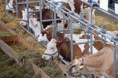 Mucche di Brown nella stalla sull'azienda agricola immagini stock