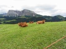 Mucche di Brown sui pascoli alpini di estate Alpe di Siusi, Tirolo del sud - Italia Fotografia Stock