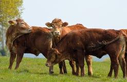 Mucche di Brown in un campo Immagine Stock