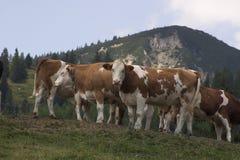 Mucche di Curiour Fotografie Stock Libere da Diritti
