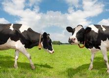Mucche di Frisian Fotografia Stock