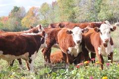 Mucche di Hereford Immagini Stock Libere da Diritti