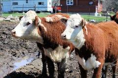 Mucche di Hereford Immagine Stock