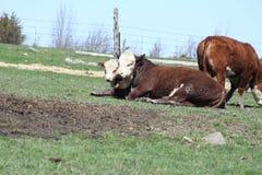 Mucche di Hereford Fotografia Stock Libera da Diritti