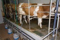 Mucche di mungitura Immagine Stock