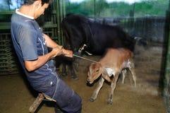 Mucche di mungitura - Colombia Fotografie Stock Libere da Diritti