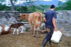 Mucche di mungitura - Colombia Fotografie Stock
