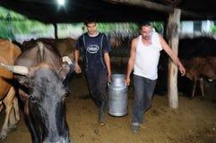 Mucche di mungitura - Colombia Immagine Stock