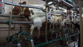 Mucche di mungitura nell'azienda agricola stock footage