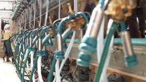 Mucche di mungitura su un'azienda agricola moderna con le lattaie e le attrezzature per le mucche di mungitura, su un'agricoltura video d archivio