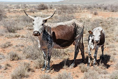 Mucche di Nguni Immagini Stock Libere da Diritti