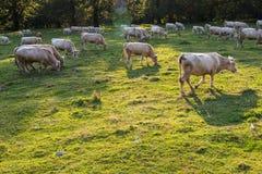 Mucche di razza che pascono al tramonto nella Transilvania, Romania immagini stock libere da diritti