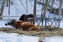 Mucche di riposo nell'inverno fotografia stock libera da diritti