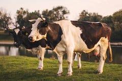 Mucche di Rubenesque immagine stock libera da diritti