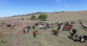 Mucche di una latteria che pascono sui campi di un'azienda agricola stock footage